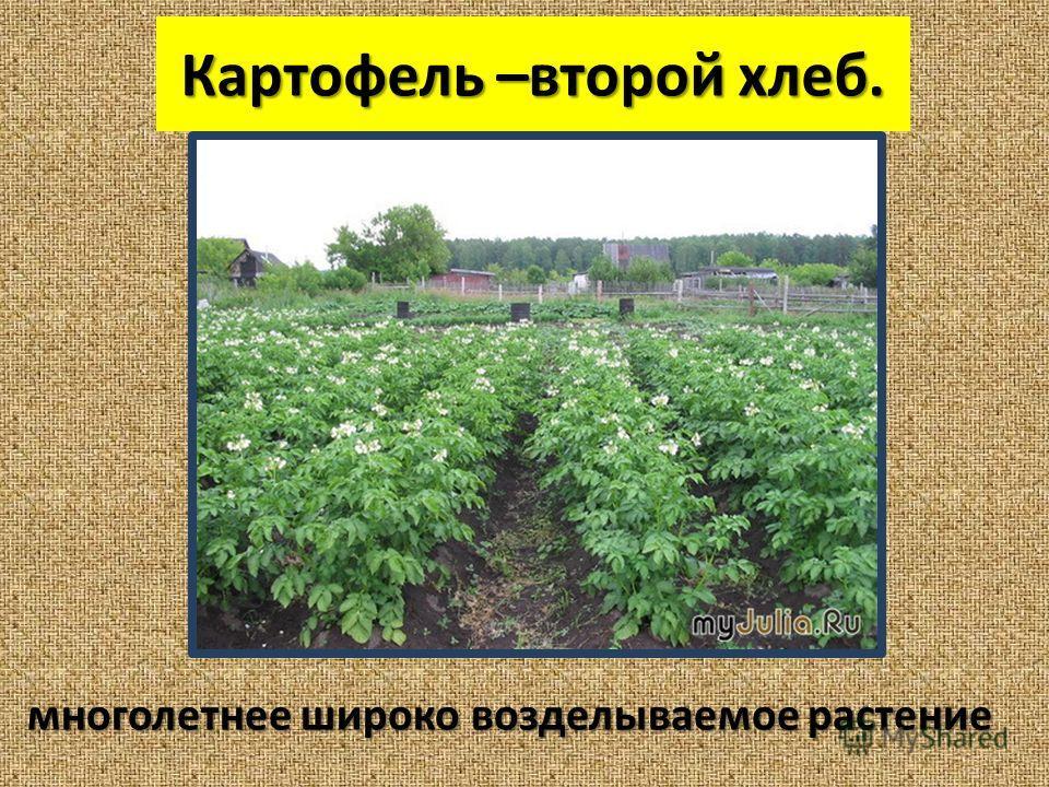 Картофель –второй хлеб. многолетнее широко возделываемое растение