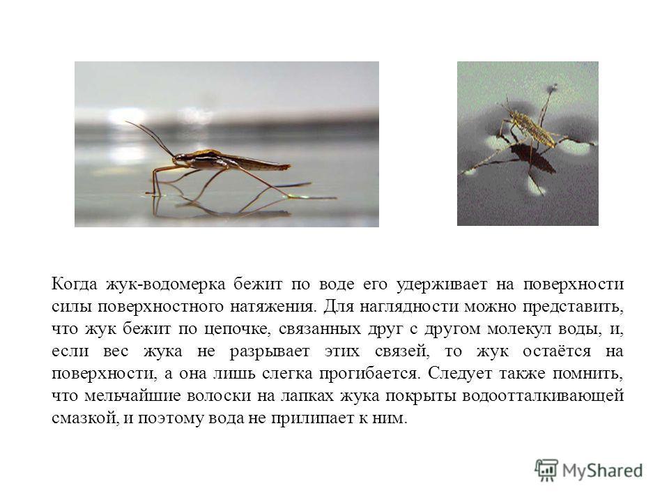 Когда жук-водомерка бежит по воде его удерживает на поверхности силы поверхностного натяжения. Для наглядности можно представить, что жук бежит по цепочке, связанных друг с другом молекул воды, и, если вес жука не разрывает этих связей, то жук остаёт