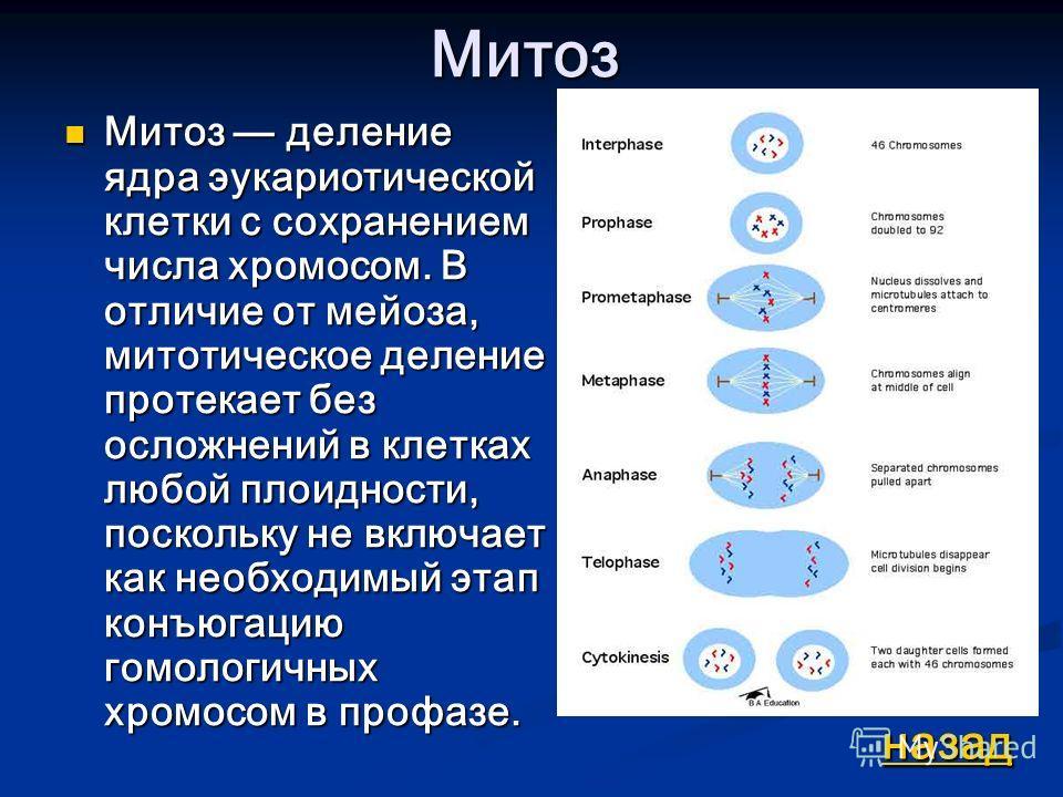Митоз Митоз деление ядра эукариотической клетки с сохранением числа хромосом. В отличие от мейоза, митотическое деление протекает без осложнений в клетках любой плоидности, поскольку не включает как необходимый этап конъюгацию гомологичных хромосом в