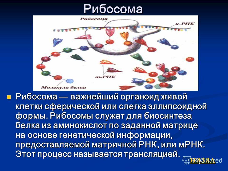Рибосома Рибосома важнейший органоид живой клетки сферической или слегка эллипсоидной формы. Рибосомы служат для биосинтеза белка из аминокислот по заданной матрице на основе генетической информации, предоставляемой матричной РНК, или мРНК. Этот проц