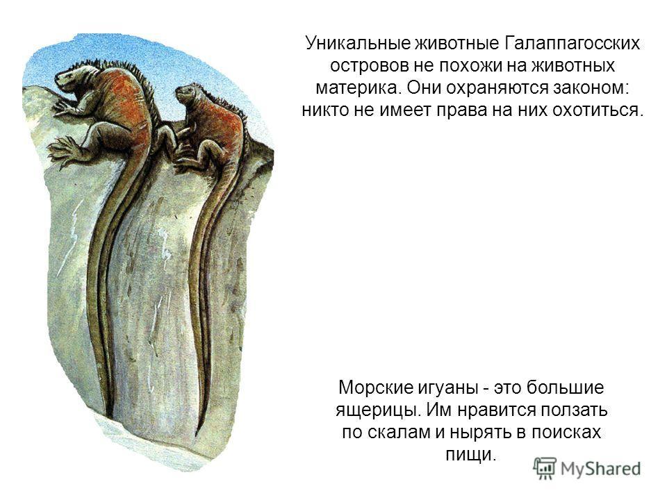 Уникальные животные Галаппагосских островов не похожи на животных материка. Они охраняются законом: никто не имеет права на них охотиться. Морские игуаны - это большие ящерицы. Им нравится ползать по скалам и нырять в поисках пищи.