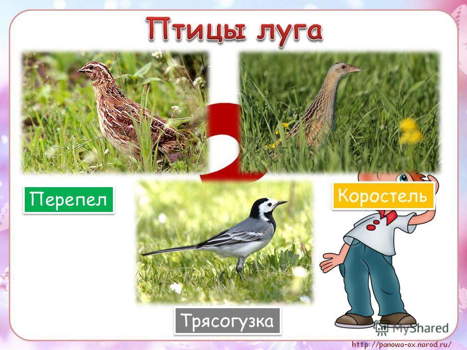 Перепел Коростель Трясогузка