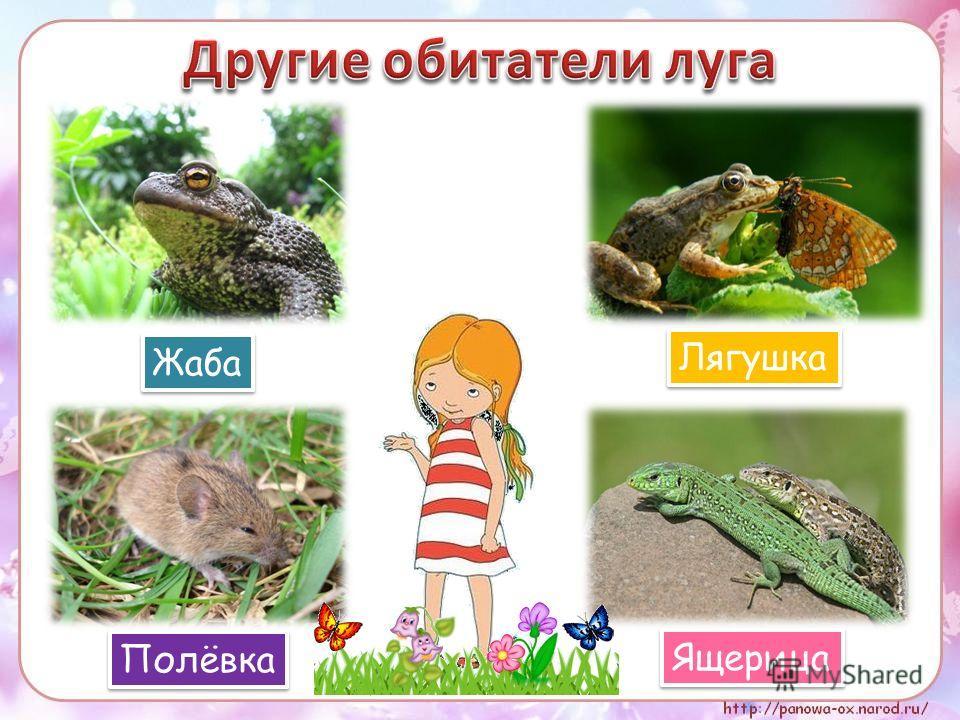 Жаба Лягушка Полёвка Ящерица