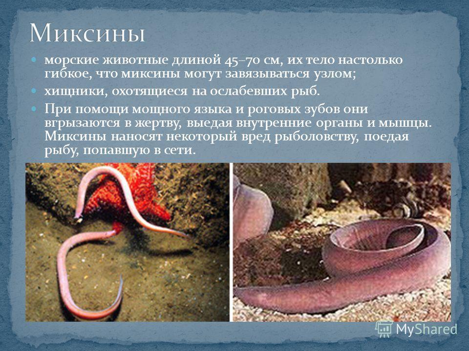морские животные длиной 45–70 см, их тело настолько гибкое, что миксины могут завязываться узлом; хищники, охотящиеся на ослабевших рыб. При помощи мощного языка и роговых зубов они вгрызаются в жертву, выедая внутренние органы и мышцы. Миксины нанос