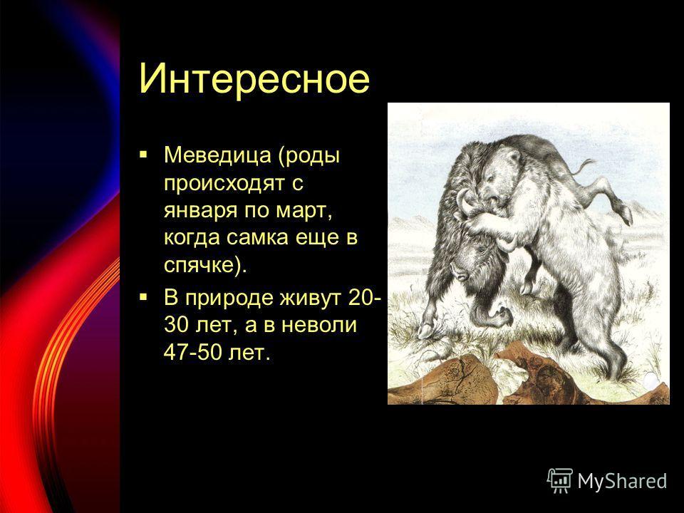 Интересное Меведица (роды происходят с января по март, когда самка еще в спячке). В природе живут 20- 30 лет, а в неволи 47-50 лет.
