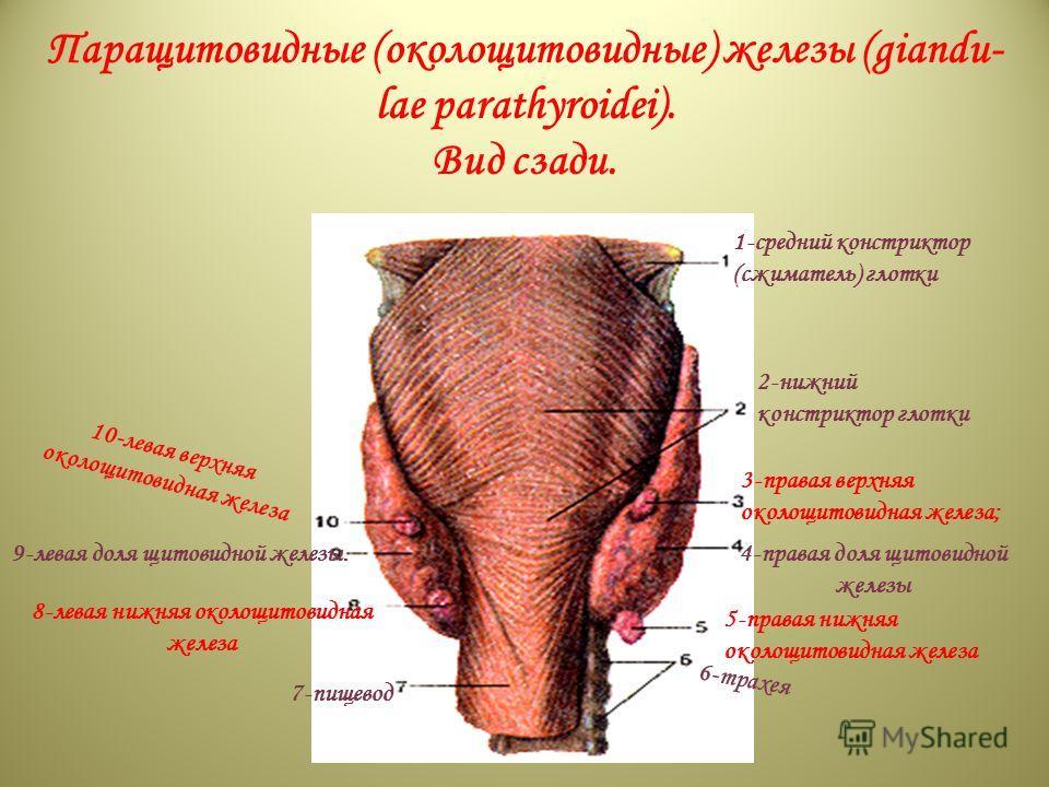 trachea; 8-inferior thyroid artery; 9-impaired thyroid vein; 10-right lobe of thyroid gland; II-superior thyroid vein; 12-thyroid cartilage; 13-superior laryngeal artery; 14-hyoid bone. Паращитовидные (околощитовидные) железы (giandu- lae parathyroid