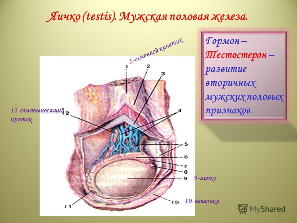 superior part of duodenum; 16-superior pancreaduodenal artery; 17-pyloric part of stomach; 18-inferior vena cava; 19-aorta. Яичко (testis). Мужская половая железа. 1 - с е м е н н о й к а н а т и к 12-семявыносящий проток. 9-яичко 10-мошонка Гормон –