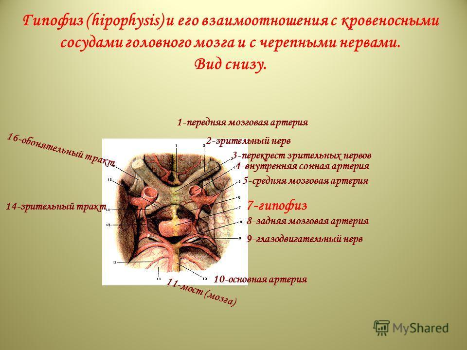 Гипофиз (hipophysis) и его взаимоотношения с кровеносными сосудами головного мозга и с черепными нервами. Вид снизу. 1-передняя мозговая артерия 2-зрительный нерв 3-перекрест зрительных нервов 4-внутренняя сонная артерия 5-средняя мозговая артерия 7-