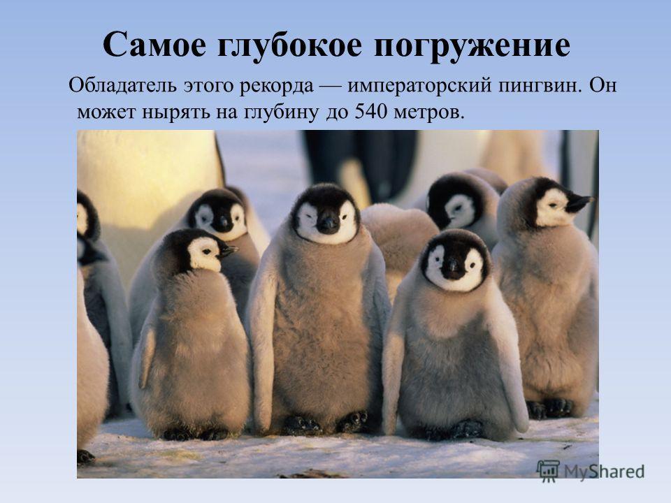 Самое глубокое погружение Обладатель этого рекорда императорский пингвин. Он может нырять на глубину до 540 метров.
