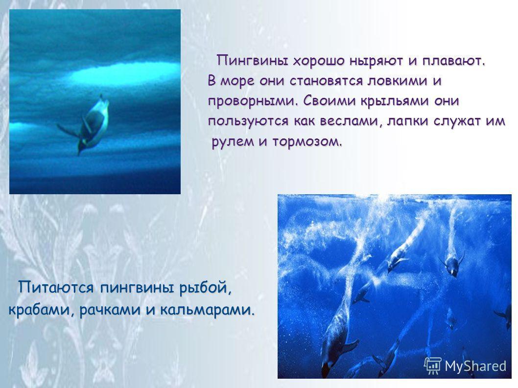 Пингвины хорошо ныряют и плавают. Пингвины хорошо ныряют и плавают. В море они становятся ловкими и проворными. Своими крыльями они пользуются как веслами, лапки служат им рулем и тормозом. Питаются пингвины рыбой, Питаются пингвины рыбой, крабами, р