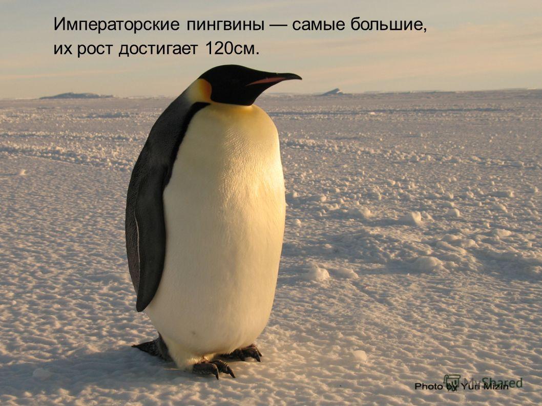 Императорские пингвины самые большие, их рост достигает 120см.