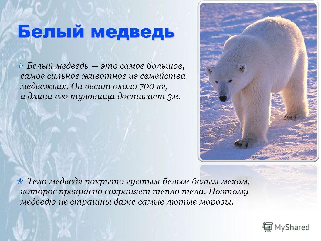 Белый медведь Белый медведь это самое большое, самое сильное животное из семейства медвежьих. Он весит около 700 кг, а длина его туловища достигает 3м. Тело медведя покрыто густым белым белым мехом, которое прекрасно сохраняет тепло тела. Поэтому мед