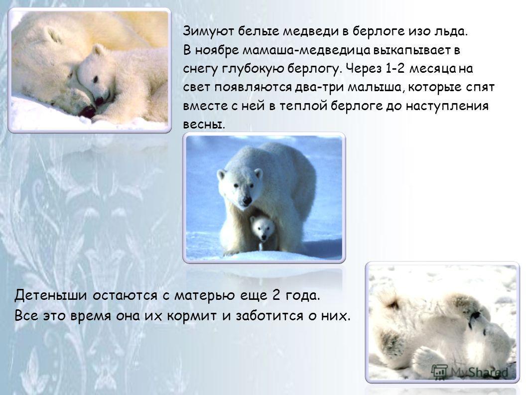 Зимуют белые медведи в берлоге изо льда. В ноябре мамаша-медведица выкапывает в снегу глубокую берлогу. Через 1-2 месяца на свет появляются два-три малыша, которые спят вместе с ней в теплой берлоге до наступления весны. Детеныши остаются с матерью е