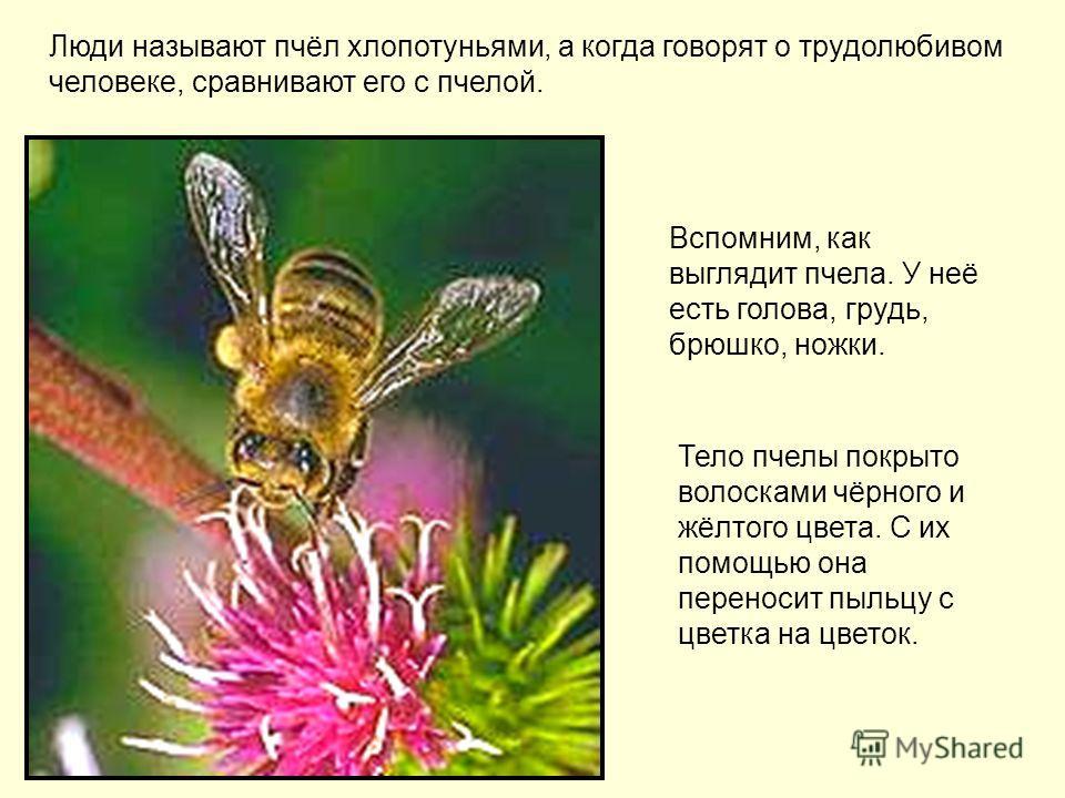 Люди называют пчёл хлопотуньями, а когда говорят о трудолюбивом человеке, сравнивают его с пчелой. Вспомним, как выглядит пчела. У неё есть голова, грудь, брюшко, ножки. Тело пчелы покрыто волосками чёрного и жёлтого цвета. С их помощью она переносит