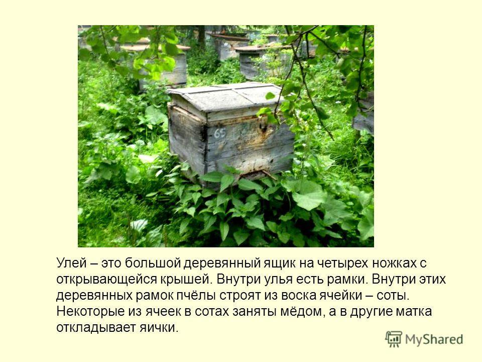 Улей – это большой деревянный ящик на четырех ножках с открывающейся крышей. Внутри улья есть рамки. Внутри этих деревянных рамок пчёлы строят из воска ячейки – соты. Некоторые из ячеек в сотах заняты мёдом, а в другие матка откладывает яички.