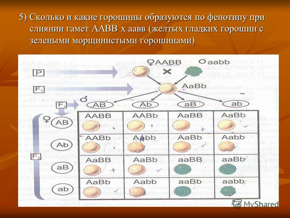 5) Сколько и какие горошины образуются по фенотипу при слиянии гамет ААВВ х аавв (желтых гладких горошин с зелеными морщинистыми горошинами)
