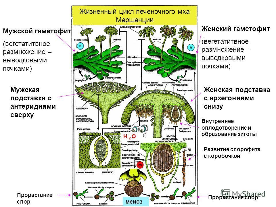 Жизненный цикл печеночного мха