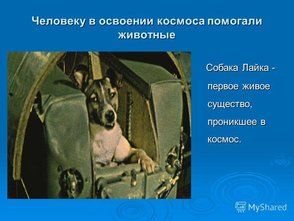 Человеку в освоении космоса помогали животные Собака Лайка - первое живое существо, проникшее в космос. Собака Лайка - первое живое существо, проникшее в космос.