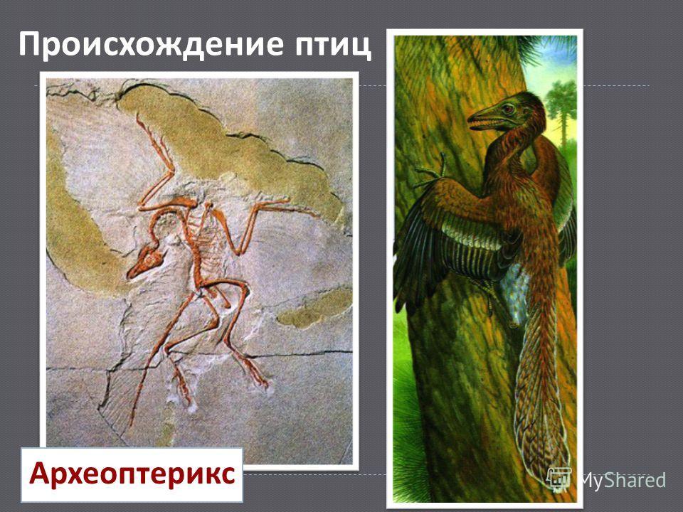 Археоптерикс Происхождение птиц