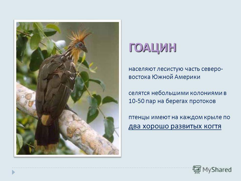 ГОАЦИН населяют лесистую часть северо - востока Южной Америки селятся небольшими колониями в 10-50 пар на берегах протоков птенцы имеют на каждом крыле по два хорошо развитых когтя