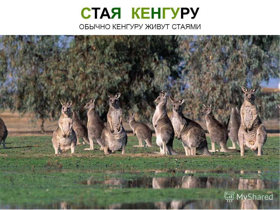 СТАЯ КЕНГУРУ ОБЫЧНО КЕНГУРУ ЖИВУТ СТАЯМИ Стая кенгуру обычно кенгуру живут стаями