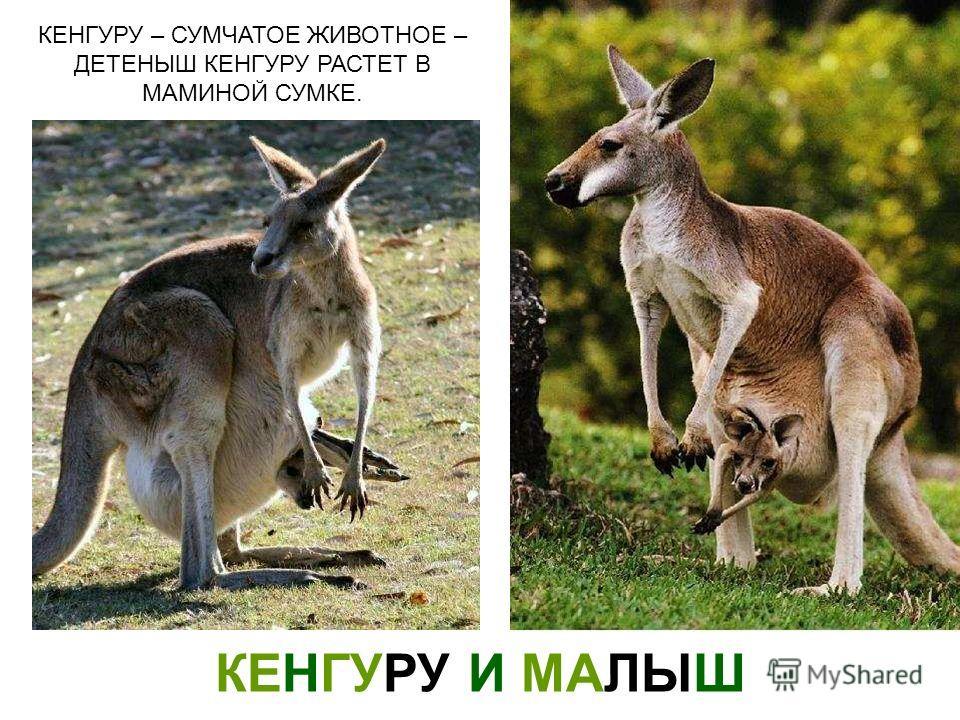 КЕНГУРУ И МАЛЫШ КЕНГУРУ – СУМЧАТОЕ ЖИВОТНОЕ – ДЕТЕНЫШ КЕНГУРУ РАСТЕТ В МАМИНОЙ СУМКЕ. Кенгуру и малыш кенгуру – сумчатое животное – детеныш кенгуру растет в маминой сумке.
