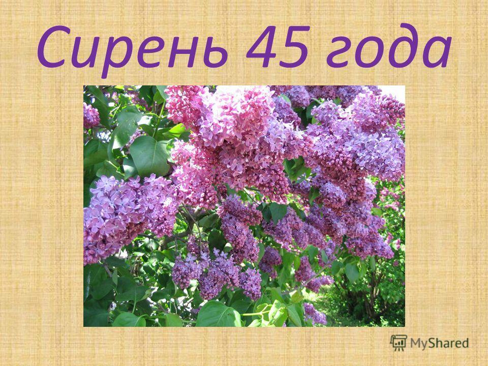 Сирень 45 года