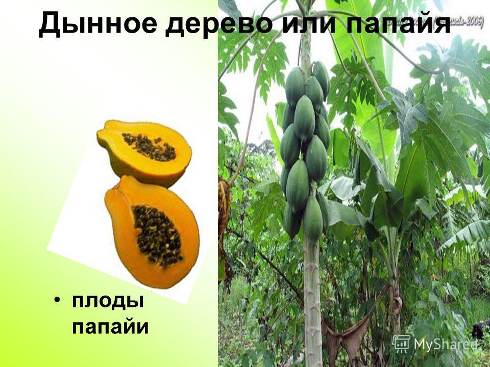 Дынное дерево или папайя плоды папайи
