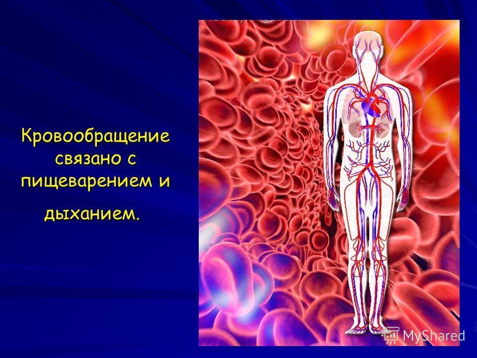 Кровообращение связано с пищеварением и дыханием. Кровообращение связано с пищеварением и дыханием.