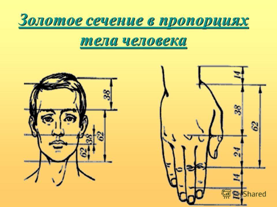 Золотое сечение в пропорциях тела человека Золотое сечение в пропорциях тела человека