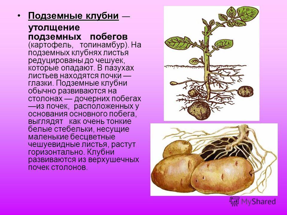 Подземные клубниПодземные клубни утолщение подземных побегов (картофель, топинамбур). На подземных клубнях листья редуцированы до чешуек, которые опадают. В пазухах листьев находятся почки глазки. Подземные клубни обычно развиваются на столонах дочер