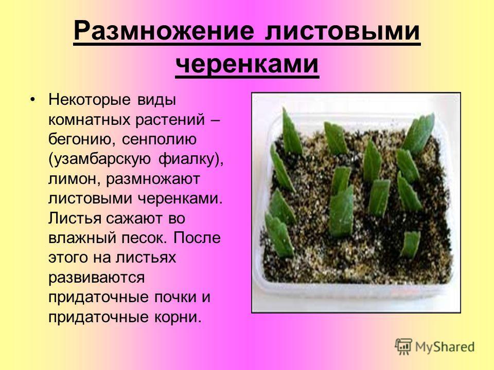 Размножение листовыми черенками Некоторые виды комнатных растений – бегонию, сенполию (узамбарскую фиалку), лимон, размножают листовыми черенками. Листья сажают во влажный песок. После этого на листьях развиваются придаточные почки и придаточные корн