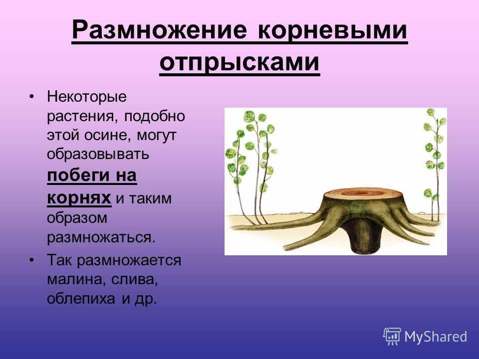 Размножение корневыми отпрысками Некоторые растения, подобно этой осине, могут образовывать побеги на корнях и таким образом размножаться. Так размножается малина, слива, облепиха и др.