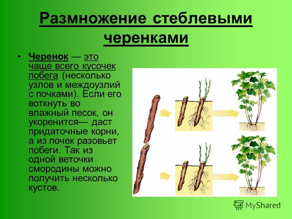 Размножение стеблевыми черенками Черенок это чаще всего кусочек побега (несколько узлов и междоузлий с почками). Если его воткнуть во влажный песок, он укоренится даст придаточные корни, а из почек разовьет побеги. Так из одной веточки смородины можн