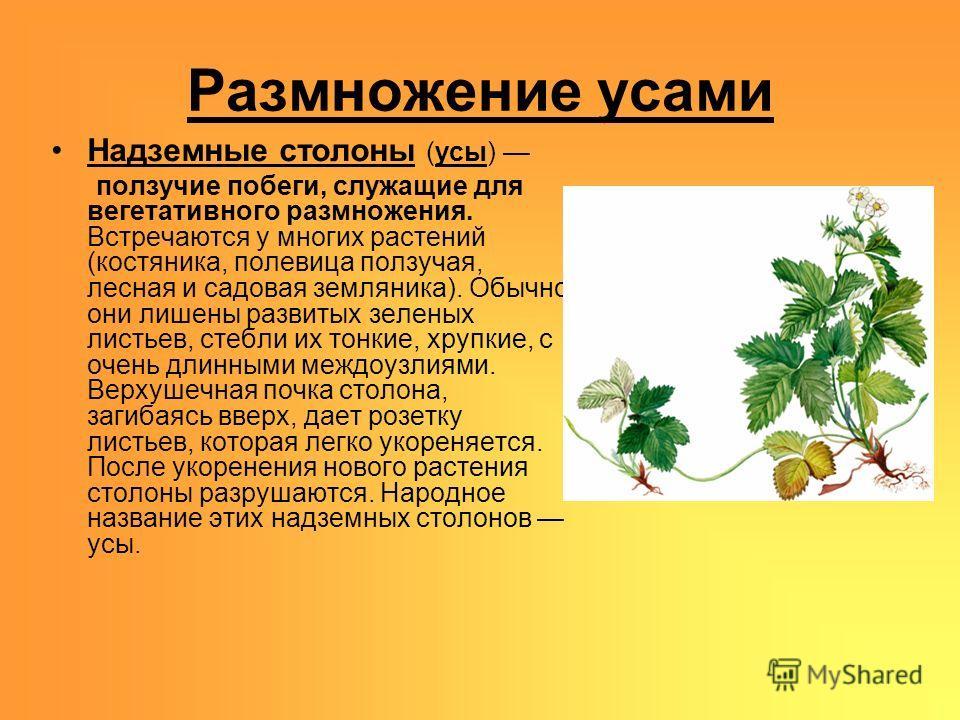 Размножение усами Надземные столоны (усы) ползучие побеги, служащие для вегетативного размножения. Встречаются у многих растений (костяника, полевица ползучая, лесная и садовая земляника). Обычно они лишены развитых зеленых листьев, стебли их тонкие,