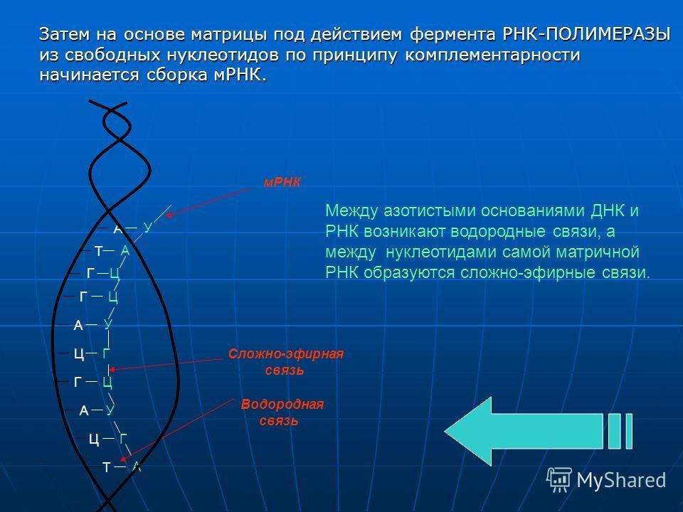 А Т Г Г А Ц Г А Ц Т У А Ц Ц У Г Ц У Г А мРНК Водородная связь Сложно-эфирная связь Между азотистыми основаниями ДНК и РНК возникают водородные связи, а между нуклеотидами самой матричной РНК образуются сложно-эфирные связи. Затем на основе матрицы по