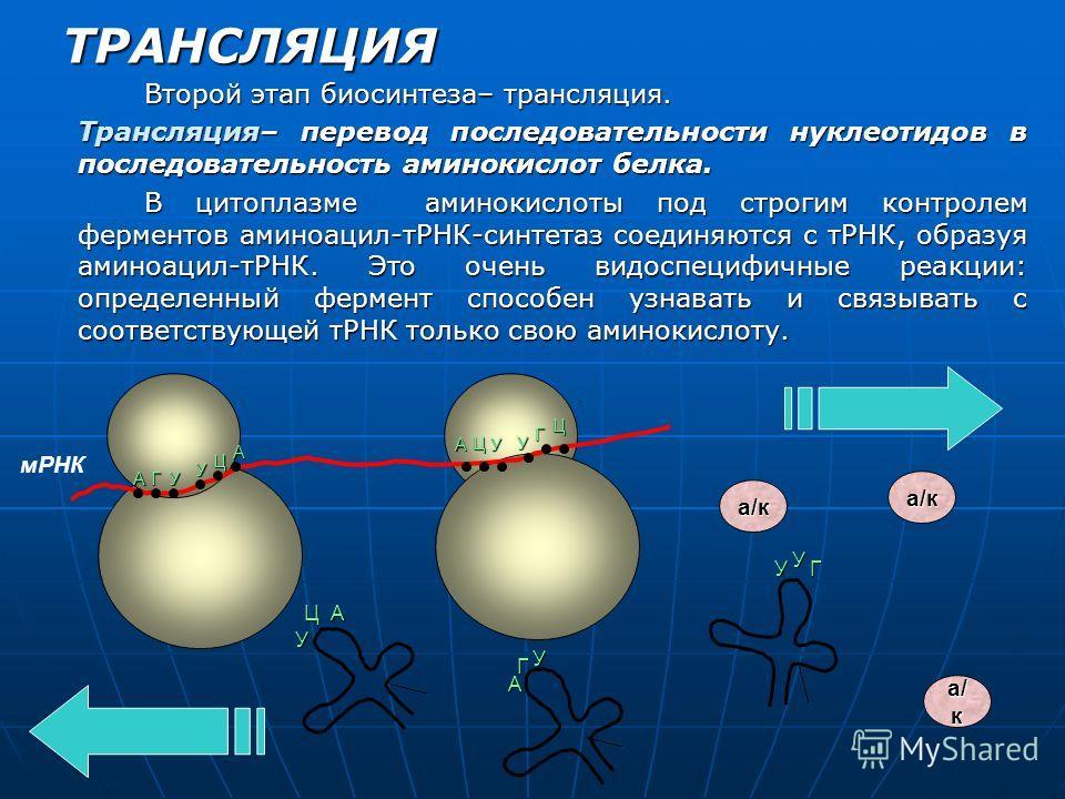 ТРАНСЛЯЦИЯ Второй этап биосинтеза– трансляция. Трансляция– перевод последовательности нуклеотидов в последовательность аминокислот белка. В цитоплазме аминокислоты под строгим контролем ферментов аминоацил-тРНК-синтетаз соединяются с тРНК, образуя ам