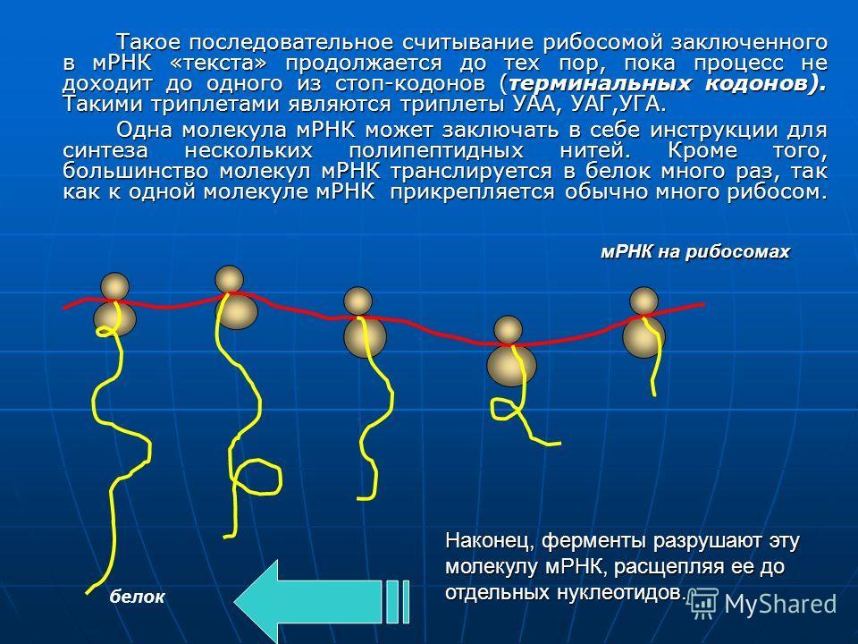 Такое последовательное считывание рибосомой заключенного в мРНК «текста» продолжается до тех пор, пока процесс не доходит до одного из стоп-кодонов (терминальных кодонов). Такими триплетами являются триплеты УАА, УАГ,УГА. Одна молекула мРНК может зак