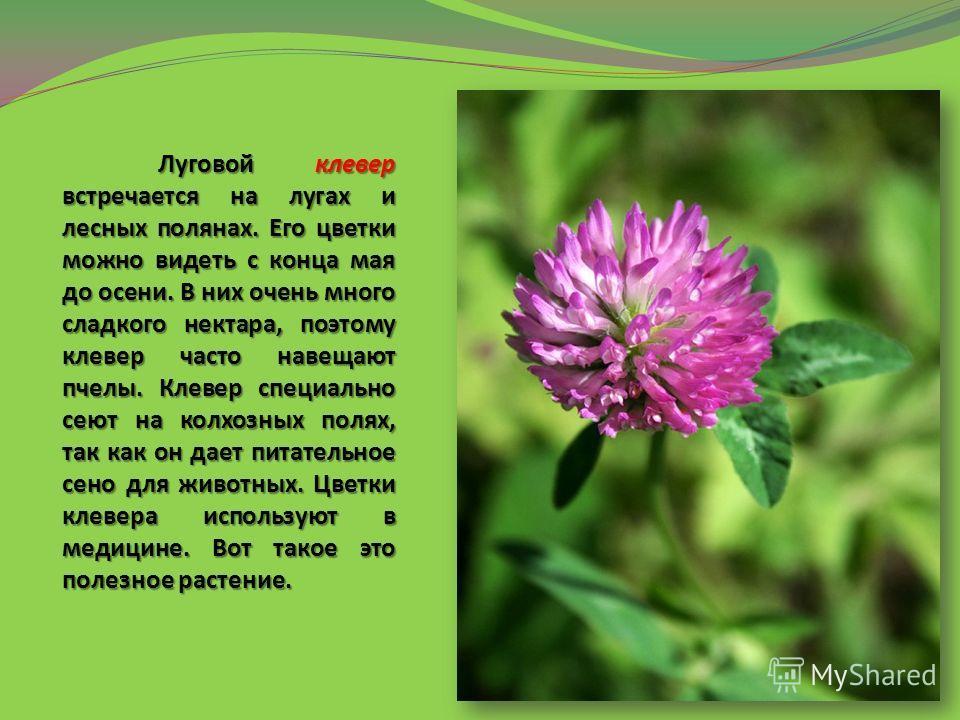 Луговой клевер встречается на лугах и лесных полянах. Его цветки можно видеть с конца мая до осени. В них очень много сладкого нектара, поэтому клевер часто навещают пчелы. Клевер специально сеют на колхозных полях, так как он дает питательное сено д