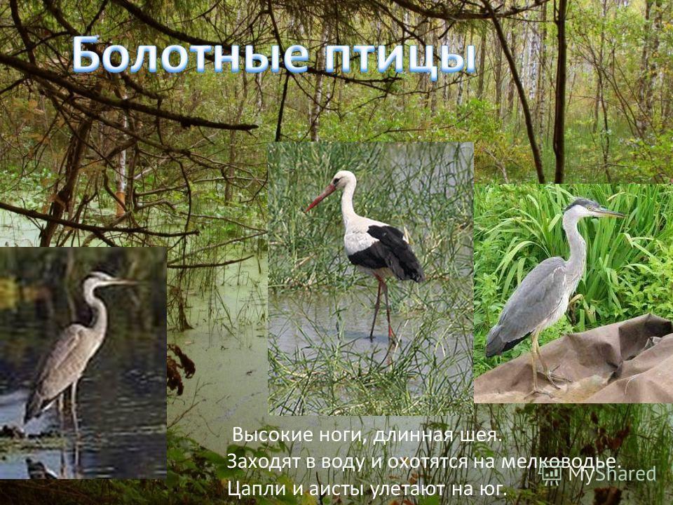 Высокие ноги, длинная шея. Заходят в воду и охотятся на мелководье. Цапли и аисты улетают на юг.