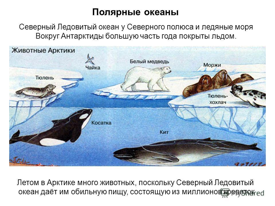 Полярные океаны Северный Ледовитый океан у Северного полюса и ледяные моря Вокруг Антарктиды большую часть года покрыты льдом. Летом в Арктике много животных, поскольку Северный Ледовитый океан даёт им обильную пищу, состоящую из миллионов креветок