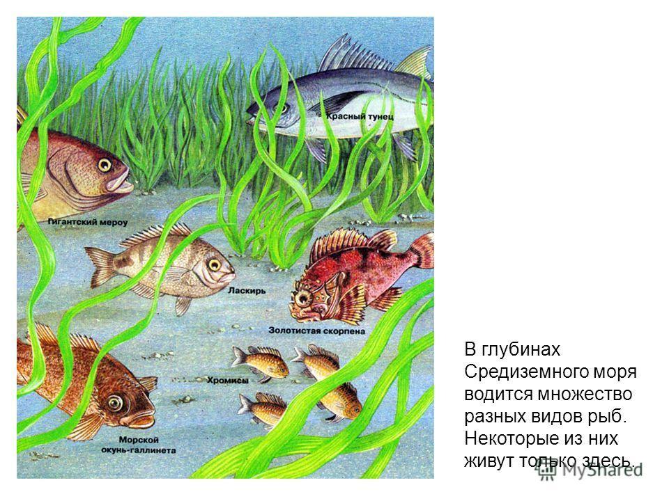 В глубинах Средиземного моря водится множество разных видов рыб. Некоторые из них живут только здесь.