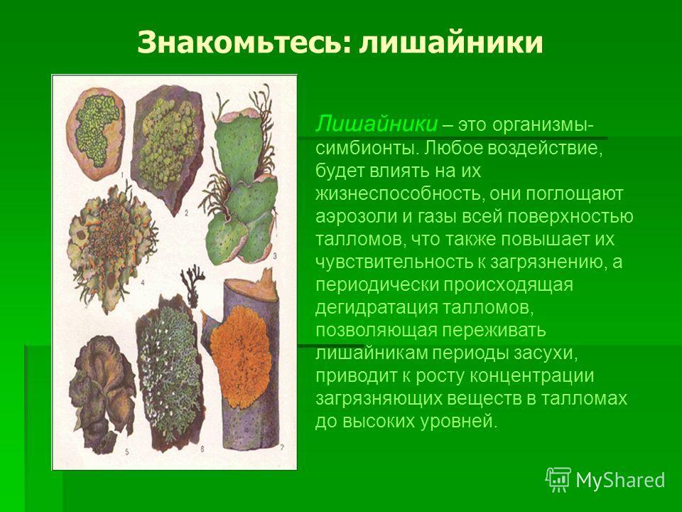 Знакомьтесь: лишайники Лишайники – это организмы- симбионты. Любое воздействие, будет влиять на их жизнеспособность, они поглощают аэрозоли и газы всей поверхностью талломов, что также повышает их чувствительность к загрязнению, а периодически происх