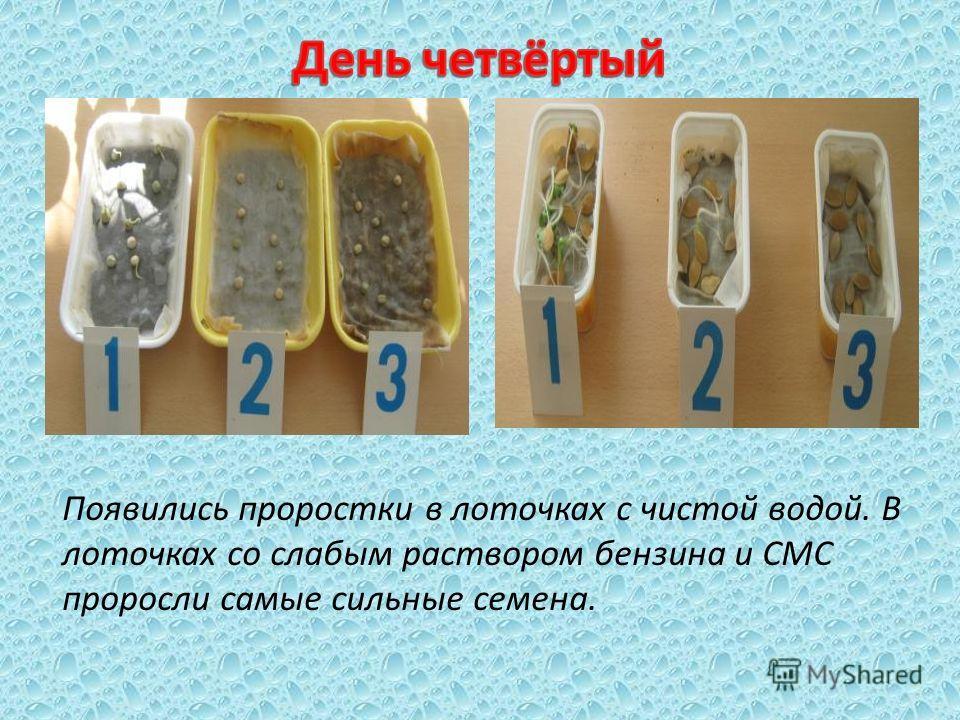 Появились проростки в лоточках с чистой водой. В лоточках со слабым раствором бензина и СМС проросли самые сильные семена.