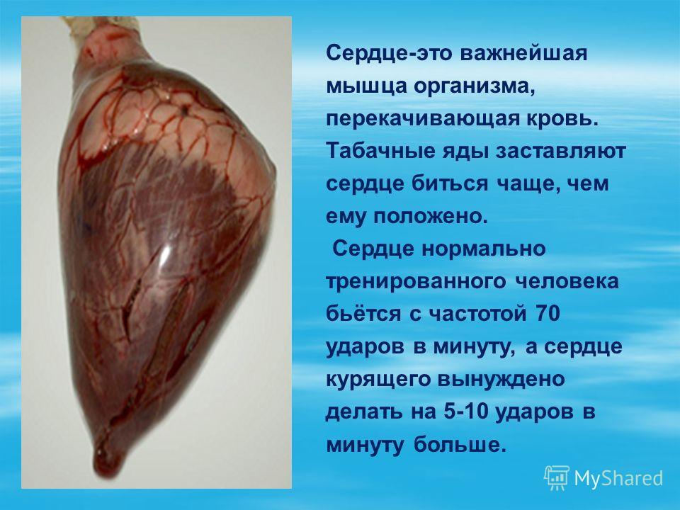 Сердце-это важнейшая мышца организма, перекачивающая кровь. Табачные яды заставляют сердце биться чаще, чем ему положено. Сердце нормально тренированного человека бьётся с частотой 70 ударов в минуту, а сердце курящего вынуждено делать на 5-10 ударов