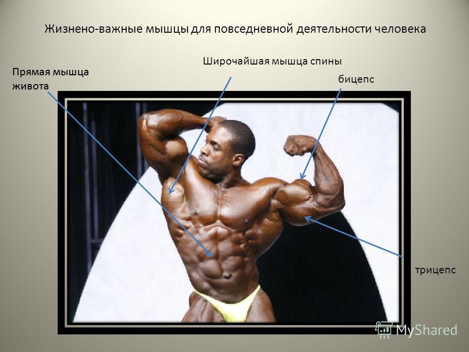 Широчайшая мышца спины бицепс трицепс Прямая мышца живота Прямая мышца живота Жизнено-важные мышцы для повседневной деятельности человека