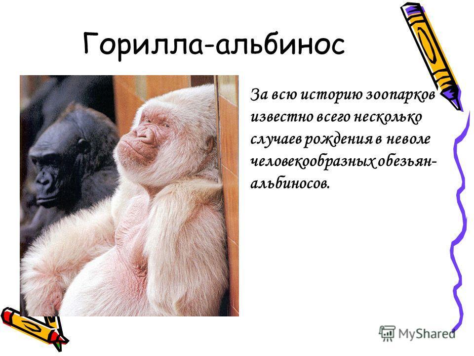 Горилла-альбинос За всю историю зоопарков известно всего несколько случаев рождения в неволе человекообразных обезьян- альбиносов.