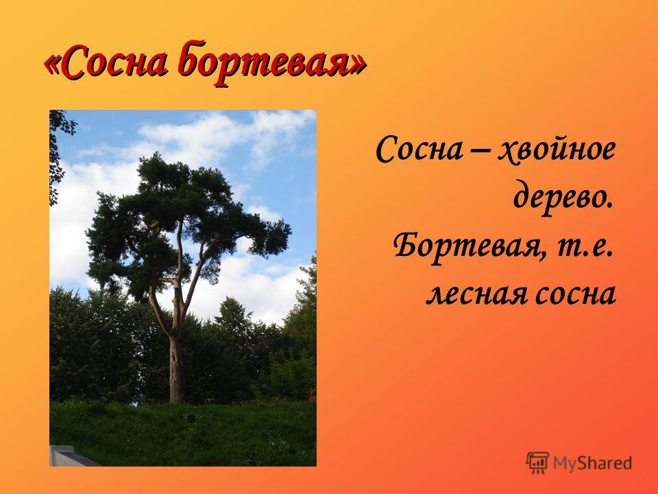 «Сосна бортевая» Сосна – хвойное дерево. Бортевая, т.е. лесная сосна