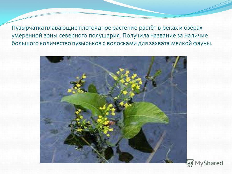 Пузырчатка плавающие плотоядное растение растёт в реках и озёрах умеренной зоны северного полушария. Получила название за наличие большого количество пузырьков с волосками для захвата мелкой фауны.