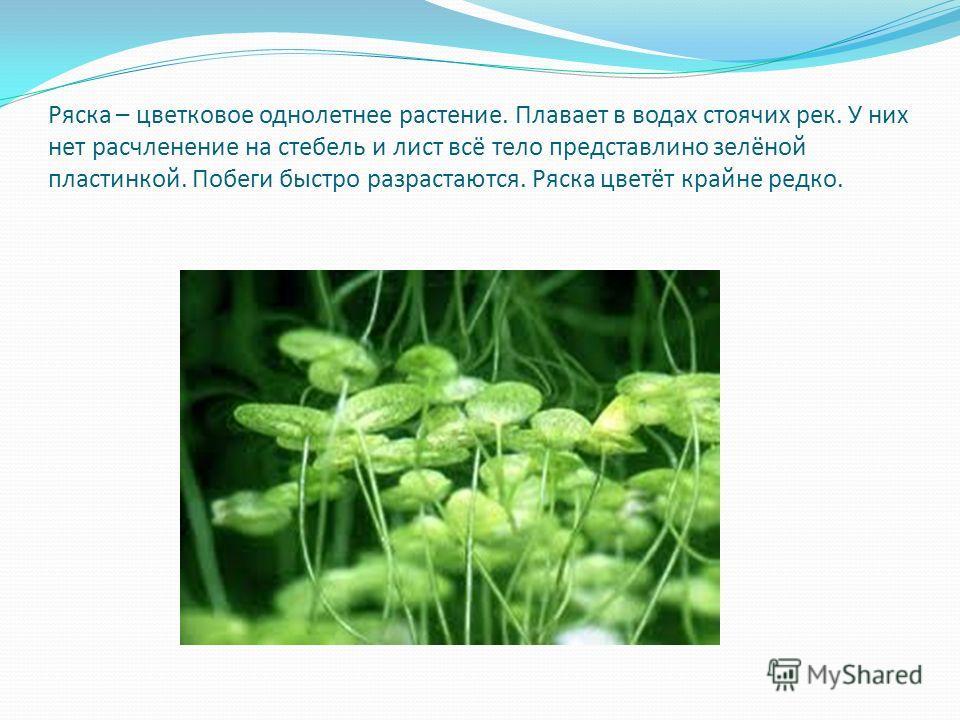 Ряска – цветковое однолетнее растение. Плавает в водах стоячих рек. У них нет расчленение на стебель и лист всё тело представлино зелёной пластинкой. Побеги быстро разрастаются. Ряска цветёт крайне редко.